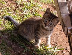IMG_0555 (jaglazier) Tags: 121818 2018 ahuakivi animals cats chile december easterisland grass kittens mammals plants copyright2018jamesaglazier cute valparaisoregion