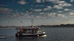The fisherman comes home - accompanied by the hungry seagulls (Ostseeleuchte) Tags: fisherman fischer fishingboat möwen gulls fishingtour seagulls hungrigemöwen hungrygulls birds vögel ostsee balticsea travemünde