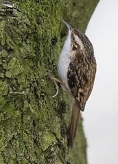 Treecreeper @ Westport Lake, Staffs (Mick Erwin) Tags: treecreeper westport lake nikon afs 600mm f4e fl ed vr lens tc14e teleconverter iii d850 mick erwin stoke trent staffordshire wildlife nature
