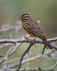 Cinnamon-breasted Bunting (leendert3) Tags: leonmolenaar southafrica krugernationalpark wildlife nature birds cinnamonbreastedbunting