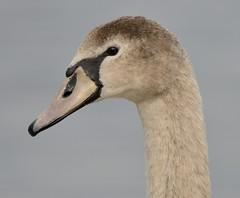 Cygnet Mute Swan (earlyalan90 away awhile) Tags: cygnet mute swan cumbria bowness windermere bird wildfowl water nature wildlife