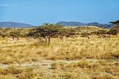 Kenya Samburu by Dietmar Reigber - 107 (Dietmar Reigber) Tags: 2018 africa africanaturereserves africawilderness beisaoryx beisaoryxsamburu beisaoryxsamburukenyaafrica dietmarreigberphotography drysavannavegetation drygrass fujifilmxt2 kenya natureinafricakenya samburu yellowgrass lanscape oryx safari