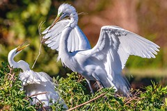 For Me? (PNWheat) Tags: nestingmaterial florida veniceaudubonrookery breedingplumage nest greatwhiteegret
