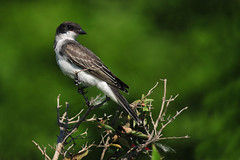 EasternKingbirdLookingLeftTwo (Rich Mayer Photography) Tags: eastern kingbird king bird birds avian nature animal animals perch perched fly flying flight wild life wildlife nikon