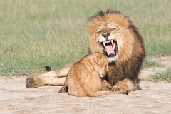 Sorry Dad, I won't do it again. (Kitty Kono) Tags: lions cub male growling ndutu tanzania africa kittyrileykono