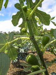 Alf 0001 - 0473 (Alf Ribeiro) Tags: agribusiness agriculture brazil rural agricultural america crop cut farm farmland field fig figs food fresh fruit green immaturity leaves nature outdoor plant production raw south tree