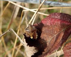 Dolycoris baccarum (rockwolf) Tags: dolycorisbaccarum punaise pentatomidae hairyshieldbug hemiptera heteroptera insect radbrook shrewsbury shropshire rockwolf
