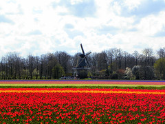 DSCN0692 (alainazer2) Tags: keukenhof lisse nederland paysbas holland hollande fiori fleurs flowers fields champs ciel cielo colori colors couleurs sky moulin mulino windmill albero arbre tree