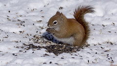 Écureuil roux - Red squirrel - Québec, Canada - 9501 (rivai56) Tags: écureuilrouxredsquirrel québec canada 9501 écureuil squirrel en hiver winter
