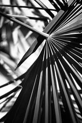 Palm Tree (emanuele_f) Tags: palm tree palma garden contaxax anastigmat 100mm f28 trioplan kodak tmax rodinal r09 150 blackandwhite biancoenero film pellicola analog