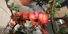 Chaenomeles (baccarati) Tags: flowershow phs philadelphiaflowershow flowers convention showcase philly tradeshow philadelphia pennsylvaniaconventioncenter pennsylvania chaenomeles quince floweringquince rosaceae