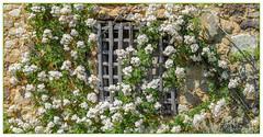 Fenêtre en fleur (balese13) Tags: 1855mm berry d5000 notredame orsan centre jardin nikon prieuré fenêtre barreaux pierre mur bois fleurs flowers balese 2550fav window pixelistes 250v10f 500v20f 1000v40f 1500v60f