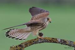 _09A3638    Cernicalo primilla  ( hembra ) .Falco naumanni