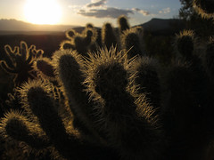 Prickly Sunset (zoniedude1) Tags: arizona desert sunset cactus sky pricklysunset teddybearcholla opuntiabigelovii cholla pronouncedchoyuh sharp prickly dangerous sonorandesert sundown fourpeaks silhouettes light illumination gilacounty tontonationalforest tontobasin desertspring2019 2920ftelevation inthewild armergulchexpedition2019 outdoors hiking exploration discovery closeup detail macro southwest nature spring outinthewild az canonpowershotg12 pspx19 zoniedude1 earthnaturelife