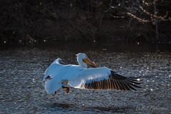 20190408-DSC_7191.jpg (GrandView Virtual, LLC - Bill Pohlmann) Tags: bird americanwhitepelican wisconsin wildlife waterfowl stcroixriver northhudsonwi