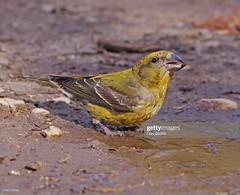 Crossbill  female (Gary Chalker, Thanks for over 4,000,000. views) Tags: crossbill finch bird female pentax pentaxk3ii k3ii pentaxfa600mmf4edif fa600mmf4edif fa600mm 600mm