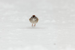 Swamp Sparrow-40977.jpg (Mully410 * Images) Tags: birdwatching birding winter backyard bird birds sparrow cold spring snow birder swampsparrow
