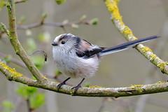 Long-tailed Tit (Aegithalos caudatus) (sdflickr2) Tags: longtailedtit aegithaloscaudatus thorntonreservoir leicestershire april 2019