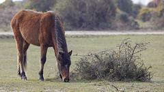 New Forest Pony (Bernie Condon) Tags: newforest pony horse wildlife hampshire