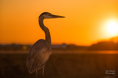 """Sunset Heron (Thanks for 1,000,000+ views) Tags: pier fishing charleston landscape """"full frame"""" fx outdoor f28 70200mm d750 nikon copyright color vibrant yellow red black orange lightroom diffused light sunshine shade natural depth field pictures summer 2018 escape """"natural light"""" photographer golden hour travel sun sand water sky nature classic sunrise sunset beach ocean atlantic sea seawater gorgeous sunny nikkor"""