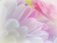 Happy Macro Monday (novice09) Tags: hmm macromondays pastel