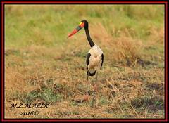 SADDLEBILL (Ephippiorhynchus senegalensis)......MASAI MARA......SEPT 2018. (M Z Malik) Tags: nikon d3x 200400mm14afs kenya africa safari wildlife masaimara keekoroklodge exoticafricanwildlife exoticafricanbirds ngc npc