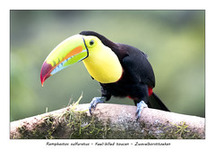 Keel-billed toucan (Jan H. Boer, Nature photographer) Tags: ramphastossulfuratus keelbilledtoucan zwavelborsttoekan birds tucans nature wildlife costarica bocatapada nikon d500 afsnikkor200500f56eedvr jan´sphotostream2018