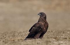 TAR_5194s (TARIQ HAMEED SULEMANI) Tags: sulemani tariq tourism trekking tariqhameedsulemani winter wildlife wild birds nature nikon