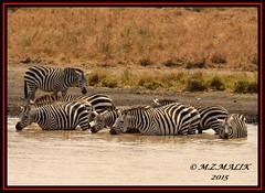 HERD OF COMMON ZEBRAS (Equus burchelli).....NAIROBI NAT.PARK.....SEPT 2015 (M Z Malik) Tags: nikon d800e 400mmf28gedvr kenya africa safari wildlife nairobinatpark exoticafricanwildlife zebras ngc npc