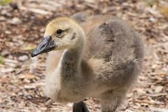 Gosling at Gallup Park (marylea) Tags: geese gosling galluppark bird canadagoose canadageese 2018 jun3 bethsbirthdaycelebration michigan washtenawcounty park