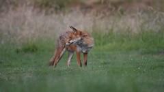 Fox family (Susanne Leyh) Tags: fox foxes redfox renard renardroux rotfuchs fuchs animal wildlife fauna nature outside outdoors nikon 300mm britishwildlife