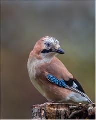 Jay (Linton Snapper) Tags: garrulusglandarius jay gardenbirds garden cambridgeshire canon lintonsnapper