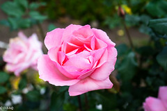 Rosas (dmbarriosq) Tags: rosa colombia rose flower flor ilce7 sony alpha7