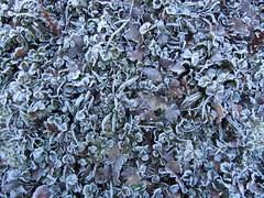 IMG_5575k (dianangelah) Tags: winter eis frost hiver reif kristall christals blatt blätter leaves feuilles natur nature raureif hoarfrost givre geada