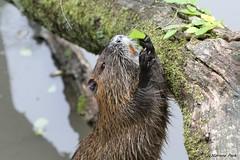 Ragondin (Passion Animaux & Photos) Tags: ragondin coypu parc animalier saintecroix france
