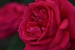 Rose 'Alec's Red' raised in UK (naruo0720) Tags: rose englishrose alecsred englishrosecollection バラ イギリスのバラ アレックスレッド イギリスのバラコレクション nikonscamera d810 sigmalenses sigma105mmf28exdgoshsm