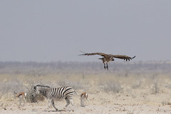 20181009_1698_Etosha_Vautour africain (fstoger) Tags: namibie namibia wildlife safari afrique africa etosha nature viesauvage vautourafricain whitebackedvulture gypsafricanus