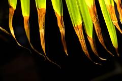 Backlit Areca  Palm (Modkuse) Tags: velvia fujivelvia fujifilmxt2velvia fujifilmxt2velviasimulation nopostprocessing nature natural palm areca arecapalm art artphotography photoart fineartphotography fineart fujifilm fujifilmxt2 xt2 xf35mmf2rwr fujinon fujinonxf35mmf2rwr withered bright brightcolors colorful