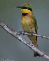Little Bee-eater (leendert3) Tags: leonmolenaar southafrica krugernationalpark wildlife nature birds littlebeeeater ngc npc naturethroughthelens coth5