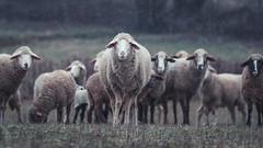 sheep (thorsten.porlein) Tags: tüngbach oberfranken bayern schnee wiese schafe gras winter schlüsselfeld bavaria deutschland germany canon eos 80d 85mm 18 bewölkt lightroom sheep landkreis bamberg snow
