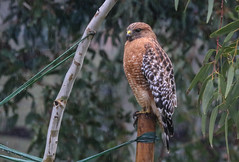 Red-shouldered Hawk in the rain Rustic Canyon Los Angeles California 070 (pekabo90401) Tags: pekabo90401 pacificpalisadesbirds rusticcanyon southerncaliforniabirds birdwatching birdwatchinglosangeles redshoulderedhawk hawk canyonmonkey canon 100400 canon80d 80d buteolineatus busardopechirrojo buseàépaulettes wesen vogel oiseau raptor raininlosangeles phototakenfromcar upliftersranch lightroom lind camaraderie fugl friendship