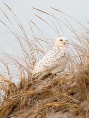 Snowy Owl (arlene sopranzetti) Tags: snowy owl ibsp nj island beach state park dunes winter