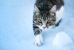 Cat (svklimkin) Tags: cat winter cold snow animal hunter canon cute svklimkin mark russia