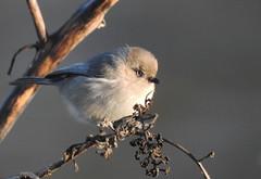 Small puffball of winter bird (sonstroem) Tags: winter bird cold bushtit wallpaper birdwatching puffy fluffy nature natural psaltriparusminimus tiny