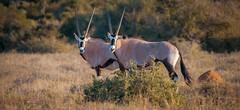 Gemsbok (Coisroux) Tags: d850 nikond850 gemsbok oryx antelope kwandwe southafrica wildlife safari