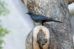 Red-winged Starling, Rufipenne morio (Onychognathus morio) - Victoria Falls, ZIMBABWE (brun@x - Africa Wildlife) Tags: 2019 bruno portier brunoportier victoria falls zimbabwe