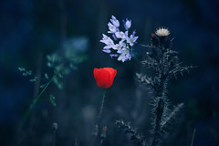 Primavera oscura (una cierta mirada) Tags: spring nature flowers wild poppy grasses plants green red blue colors macro bokeh botanical flower flora floral garden dark night