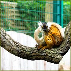The Look (Silke Klimesch) Tags: berlin tierpark tierparkberlin mohrenmaki maki eulemurmacaco lemur lémur blacklemur lémurnoir makinero lêmurenegro moormaki mormaki mustamaki lemuriaczarna μαύροσλεμούριοσ чёрныйлемур лемур クロキツネザル 검은여우원숭이 vượncáođen primate hff fencefriday sonntagstierchen madagascar olympus omd em5markii mzuikodigitaled60mm128macro luminar3 on1photoraw2019 microfourthirds fence wood branch zaun gitter clôture recinto cerca saepes gærde hegn hek aita płot gjerde staket girðing gard φράχτησ çit забор 栅栏 fashionista amber ambereyes