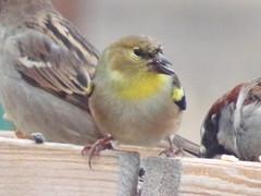 American goldfinch (Spinus tristis), male (tigerbeatlefreak) Tags: american goldfinch spinus tristis bird passeriformes nebraska