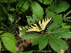 Tiger Swallowtail (Picsnapper1212) Tags: tigerswallowtail swallowtail butterfly insect animal mayapple leaf plant nature yellow black green deerlooptrail rockyforkstatepark hillsboro ohio highlandcounty